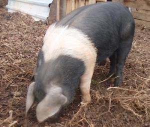 One of my Saddleback pigs