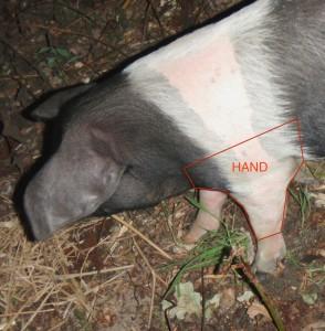 Pig's 'Hand'