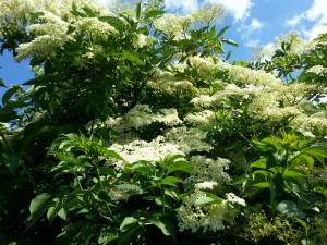 Elderflower in Bloom