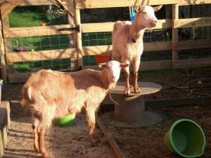 Emma & Piper - Goat in the Garden