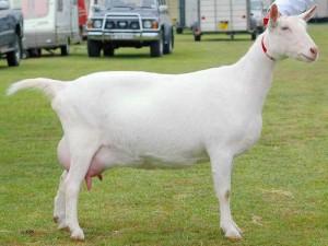 Saanen-breeds-of-goat