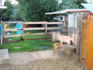 Goats fenced in, children fenced out!