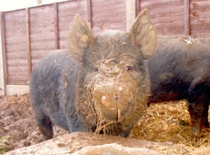 A pig with something on its face
