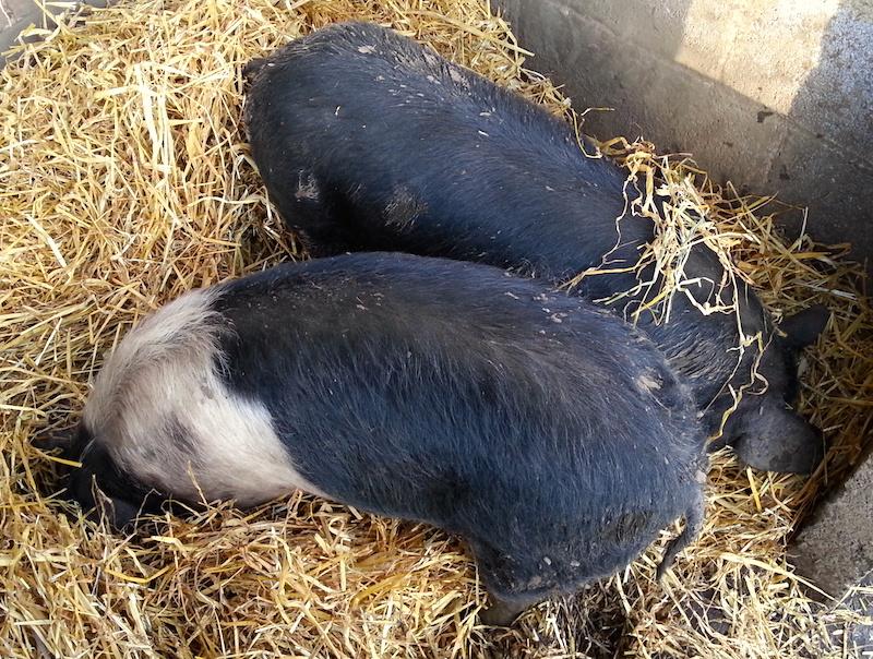 Online Pig Weight Calculator | Phin Hall
