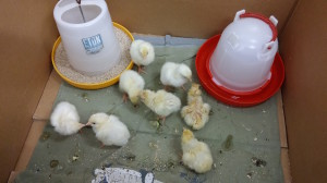 My Current Brooder